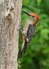Red-bellied-Male-Woodpecker-IH-6-22-17-SJS-002