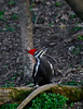 PileatedWoodpecker-Female-2016-sjs-005