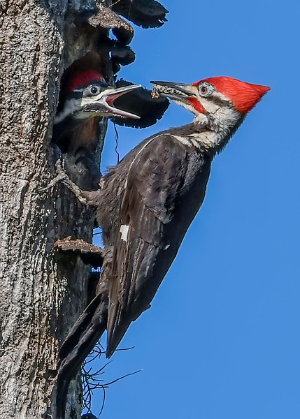 PileatedWoodpecker-MeadGardens-4-16-19-SJS-030