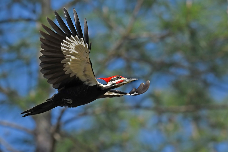 PileatedWoodpecker-SawgrassIsland-3-12-20-SJS-003