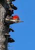 PileatedWoodpecker-MeadGardens-4-16-19-SJS-019