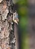 BrownheadedCowbird-FallingWatersSP-FL-8-19-20-sjs-008
