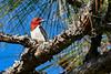 RedHeadedWoodpecker-JoeOverstreet-8-27-19-SJS-005