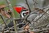 PileatedWoodpecker-ApopkaFL-1-20-18-SJS-001