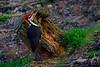 PileatedWoodpecker-Male-2016-sjs-013