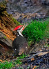 PileatedWoodpecker-Male-2016-sjs-011