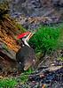 PileatedWoodpecker-Male-2016-sjs-011