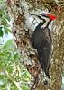 PileatedWoodpecker-LYE-3-22-18-SJS-013