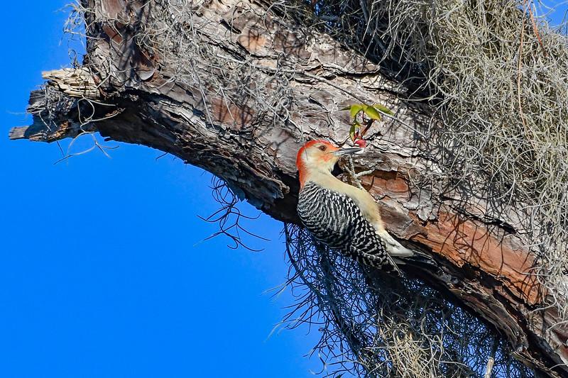 RedBelliedWoodpecker-PineMeadows-12_4_19-SJS-004