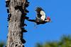 PileatedWoodpecker-MeadGardens-4-16-19-SJS-023