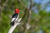 RedHeadedWoodpecker-OcalaNF-7-2-20-sjs-015
