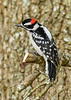 DownyWoodpecker(male)-LYE-3-13-19-SJS-024