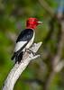 RedHeadedWoodpecker-OcalaNF-7-2-20-sjs-017