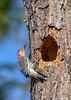RedBelliedWoodpecker-LakeYale-11-14-20-sjs-004