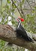 PileatedWoodpecker-ApopkaFL-1-20-18-SJS-010