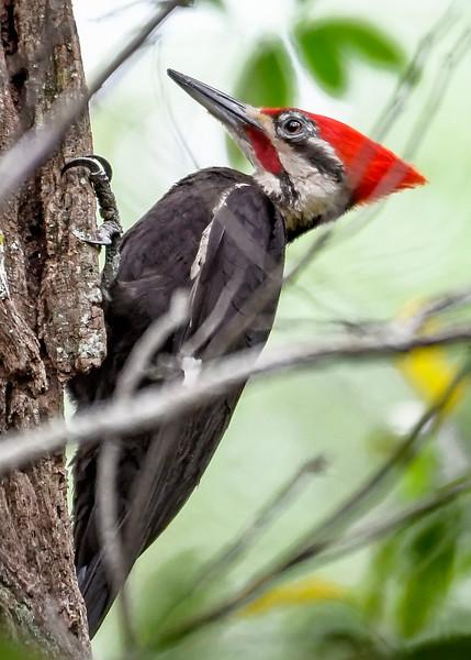 PileatedWoodpecker-MeadGardens-4-16-19-SJS-010