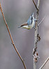 BrownheadedCowbird-FallingWatersSP-FL-8-19-20-sjs-001