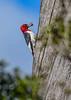 RedHeadedWoodpecker-OcalaNF-11-5-20-sjs-08