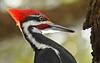 PileatedWoodpecker-ApopkaFL-1-20-18-SJS-026
