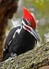 PileatedWoodpecker-ApopkaFL-1-20-18-SJS-021