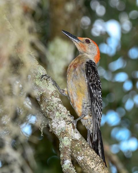 RedBelliedWoodpecker-PineMeadowsCA-6-17-20-SJS-03