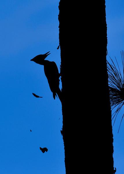 PileatedWoodpecker(male)-OcalaNF-11-8-18-SJS-008