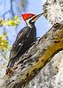 PileatedWoodpecker-LYE-3-7-19-SJS-003