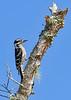 DownyWoodpecker(male)-OcalaNF-8-1-20-sjs-001