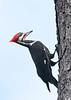 PileatedWoodpecker-OaklandNaturePreserve-11-2-19-SJS-002