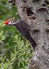 PileatedWoodpecker-MeadGardens-4-16-19-SJS-006