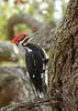 PileatedWoodpecker-ApopkaFL-1-20-18-SJS-033