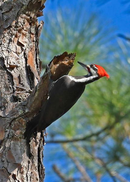 PileatedWoodpecker(male)-OcalaNF-11-8-18-SJS-015