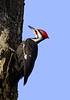 PileatedWoodpecker(male)-09