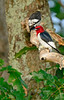 Red-HeadedWoodpecker-sjs-2015-002