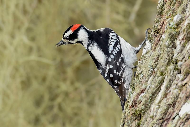 DownyWoodpecker(male)-LYE-3-13-19-SJS-022