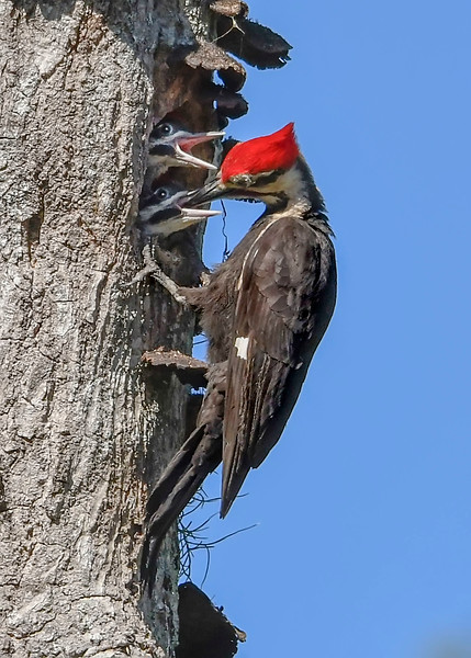PileatedWoodpecker-MeadGardens-4-16-19-SJS-029