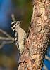 DownyWoodpecker(male)-OcalaNF-10-31-2020-sjs-001