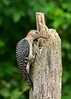 Red-BelliedWoodpecker-Female-IHSA-6-15-17-SJS-003
