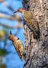 NorthernFlicker-WSSP-MarionCoFL-2-8-19-SJS-009