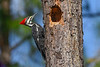 PileatedWoodpecker(female)-LakeYale-11-11-20-sjs-06