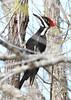 PileatedWoodpecker-EmeraldaMarsh-12-31-19-SJS-003