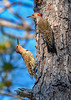 NorthernFlicker-WSSP-MarionCoFL-2-8-19-SJS-005