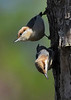 Brown-HeadedNuthatch-TosohatcheeWMA-1-3-19-SJS-008