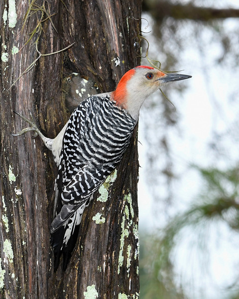 RedBelliedWoodpecker-PineMeadows-11-15-19-SJS-002