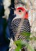 RedBelliedWoodpecker-LAWD-2-10-17-SJS-001