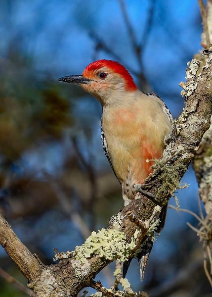 RedBelliedWoodpecker-OcalaNF-1-5-20-SJS-002