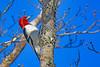 RedHeadedWoodpecker-NewberryFl-1-24-17-SJS-18