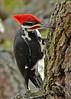 PileatedWoodpecker-ApopkaFL-1-20-18-SJS-039
