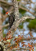 PileatedWoodpecker-OcalaNF-1-13-20-SJS-002