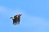 RedHeadedWoodpecker-OcalaNF-7-15-2020-SJS-08
